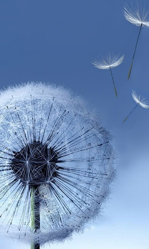 dandelion cell phone wallpaper quotes - photo #36